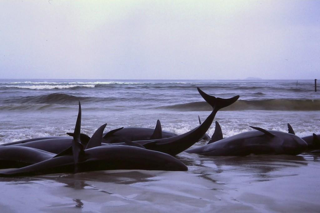 Gestrande walvissen, drink kraanwater