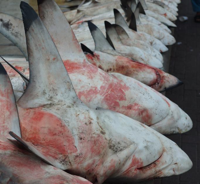 haaienvinnen